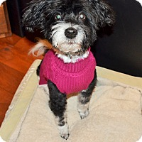 Adopt A Pet :: Ollie - Sherman, CT