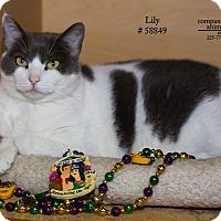 Adopt A Pet :: Lily - Baton Rouge, LA