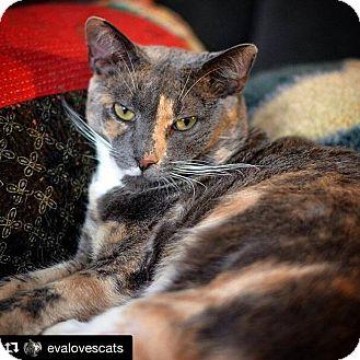 American Shorthair Cat for adoption in Brooklyn, New York - Peaches