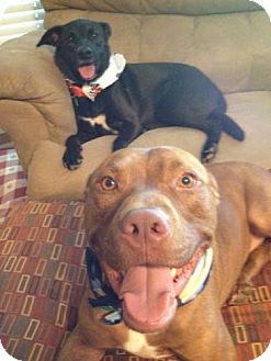 American Staffordshire Terrier/Labrador Retriever Mix Dog for adoption in Decatur, Georgia - Rocco & Charley - Pair of Pals!
