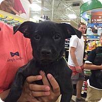 Adopt A Pet :: Blue - Hohenwald, TN
