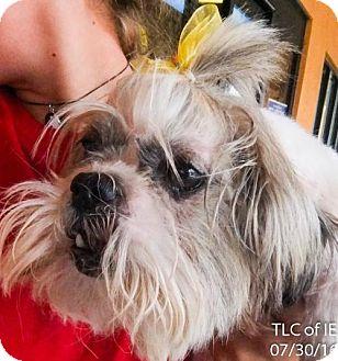Shih Tzu Dog for adoption in Moreno Valley, California - 20161025