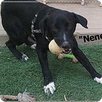 Adopt A Pet :: Nene - El Cajon, CA