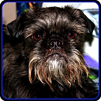 Affenpinscher Dog for adoption in Indianapolis, Indiana - FINLEY in Jasper, IN.
