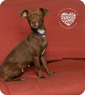 Dachshund/Terrier (Unknown Type, Small) Mix Dog for adoption in Inglewood, California - Sadie Sue