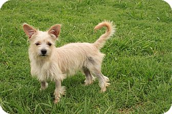 Terrier (Unknown Type, Small) Mix Puppy for adoption in Norfolk, Virginia - Buttercup