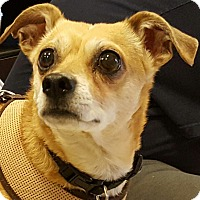 Chihuahua Mix Dog for adoption in North Las Vegas, Nevada - Bandit