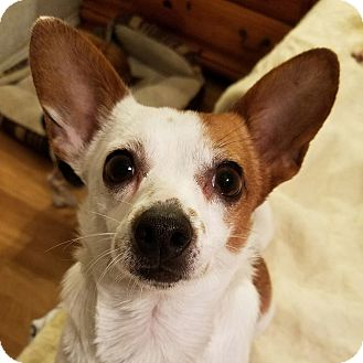 Jack Russell Terrier/Chihuahua Mix Dog for adoption in Durham, North Carolina - Roxie