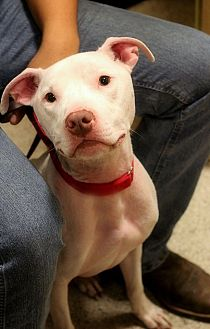 Pit Bull Terrier Mix Dog for adoption in Toledo, Ohio - Willy