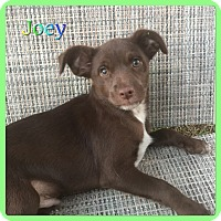 Adopt A Pet :: Joey - Hollywood, FL
