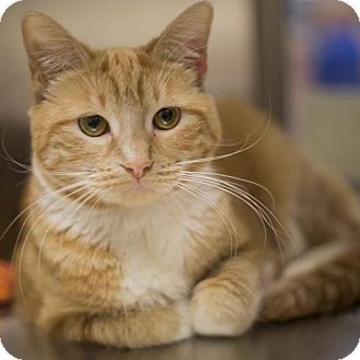 Domestic Mediumhair Cat for adoption in Salem, Massachusetts - Peach