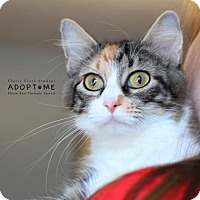 Domestic Shorthair Cat for adoption in Edwardsville, Illinois - Sadie