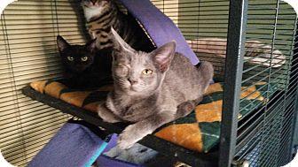 Domestic Shorthair Kitten for adoption in Virginia Beach, Virginia - Demi