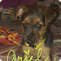 Adopt A Pet :: Ariel - Spring, TX