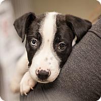 Labrador Retriever Mix Puppy for adoption in Dallas, Texas - Frodo