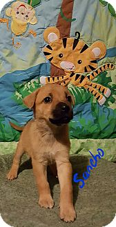 German Shepherd Dog/Boxer Mix Puppy for adoption in Sussex, New Jersey - Sancho
