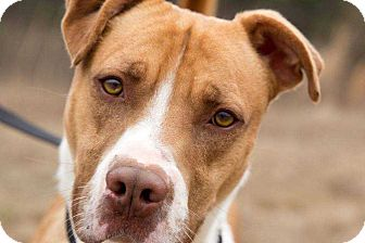 Bullmastiff/Pit Bull Terrier Mix Dog for adoption in Lexington, Tennessee - Spartacus