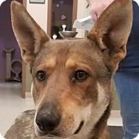 Adopt A Pet :: Malaki - St.Ann, MO