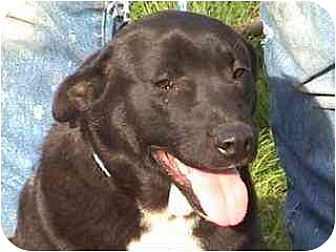 Labrador Retriever/Boxer Mix Dog for adoption in Tyler, Texas - TG-Adrianna