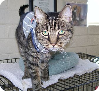 Domestic Shorthair Cat for adoption in Scottsdale, Arizona - Alexander(Xander)