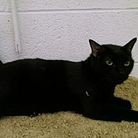 Domestic Shorthair Cat for adoption in Pineville, North Carolina - Romeo