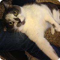 Adopt A Pet :: Alessa - Chicago, IL