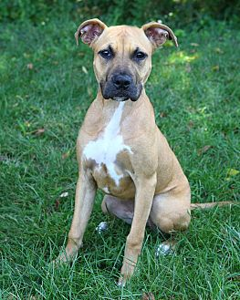 Pit Bull Terrier/Boxer Mix Dog for adoption in Oakland, New Jersey - Confetti
