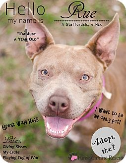 American Staffordshire Terrier Mix Dog for adoption in Port Charlotte, Florida - Rue