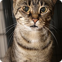 Domestic Shorthair Cat for adoption in Marietta, Ohio - Daisy (Spayed)