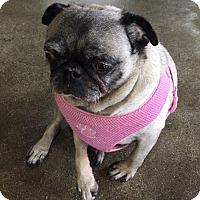 Pug Dog for adoption in Gardena, California - Katie