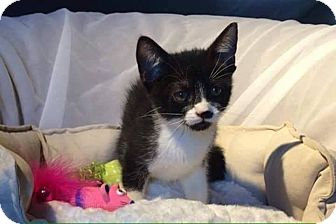 Domestic Shorthair Kitten for adoption in THORNHILL, Ontario - Missy