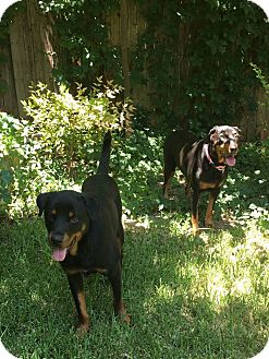Rottweiler Dog for adoption in Fort Worth, Texas - Bentley