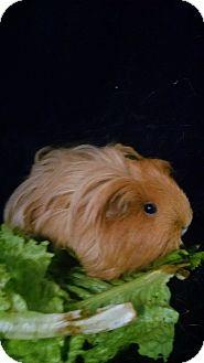 Guinea Pig for adoption in Aurora, Colorado - Firestarter