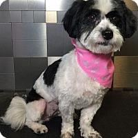 Adopt A Pet :: Demi Lovato - McKinney, TX