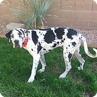Great Dane Dog for adoption in Phoenix, Arizona - Blu