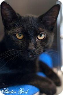 Domestic Shorthair Kitten for adoption in Manahawkin, New Jersey - Skater Girl