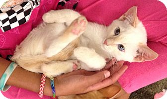 Siamese Kitten for adoption in Rocklin, California - Nipper
