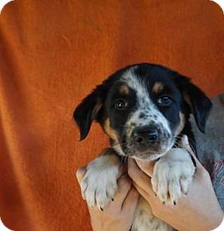 Australian Shepherd/German Shorthaired Pointer Mix Puppy for adoption in Oviedo, Florida - Stitch
