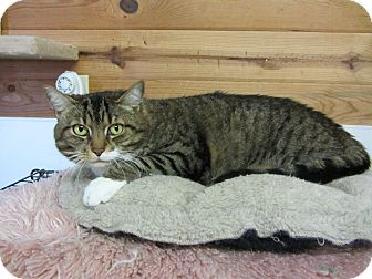 Domestic Shorthair Cat for adoption in Kingston, Washington - Bea