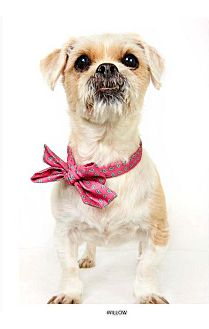 Havanese Mix Dog for adoption in New York, New York - Willow