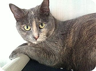 Domestic Shorthair Cat for adoption in Topeka, Kansas - Starla