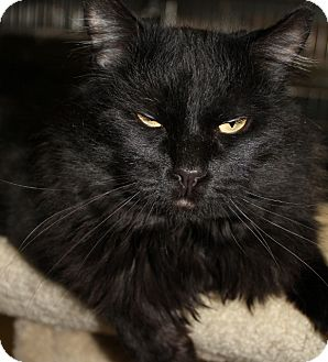 Domestic Longhair Cat for adoption in Grants Pass, Oregon - Romeo