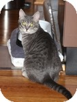 Domestic Shorthair Cat for adoption in Vancouver, British Columbia - Teagan