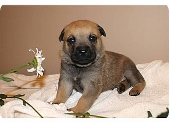 Belgian Malinois/Labrador Retriever Mix Puppy for adoption in Sinking Spring, Pennsylvania - Cameron