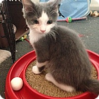 Adopt A Pet :: Peep - Sterling Hgts, MI