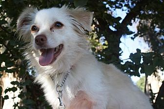 Pomeranian Mix Dog for adoption in Elk Grove, California - KONA