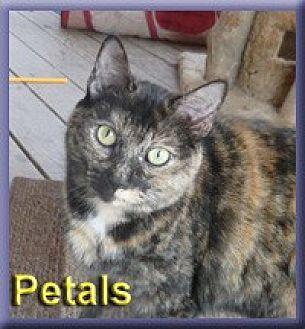 Domestic Shorthair Cat for adoption in Aldie, Virginia - Petals