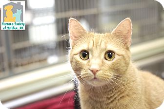Domestic Shorthair Cat for adoption in Walden, New York - Nome