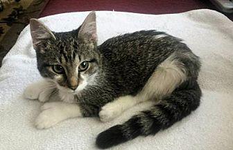 Polydactyl/Hemingway Kitten for adoption in Denver, Colorado - Angel
