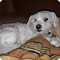 Adopt A Pet :: Princess - Algonquin, IL